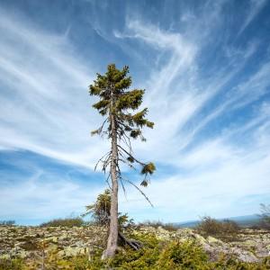 albero più vecchio